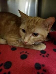 Young Male  - Domestic Short Hair