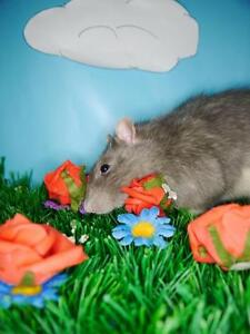 "Adult Male Small & Furry - Rat: ""Remy"""