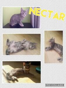 """Young Male Cat - Domestic Short Hair (Gray): """"Nectar"""""""