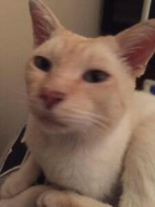 """Adult Male Cat - Siamese: """"Ollie"""""""