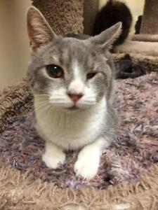 Male Cat - Domestic Short Hair - gray and white-Tabby - Grey