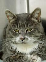 """Adult Male Cat - Domestic Short Hair: """"Rudolph"""""""
