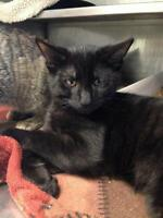 "Young Male Cat - Domestic Short Hair: ""Lance"""