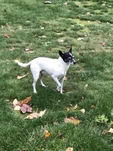 "Adult Male Dog - Rat Terrier: ""Roscoe"""