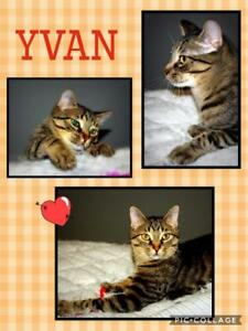 "Young Male Cat - Domestic Medium Hair: ""Yvan"""