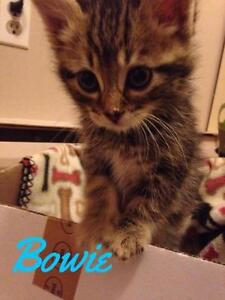 """Baby Male Cat - Domestic Short Hair-Tabby: """"Bowie"""""""