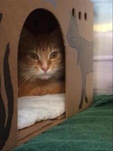 """Adult Female Cat - Domestic Medium Hair: """"Feta"""""""