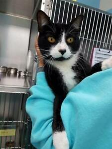 """Adult Male Cat - Domestic Short Hair: """"Timmy"""""""