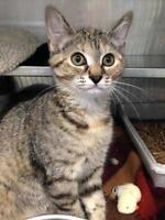 "Young Female Cat - Domestic Short Hair: ""Rachel"""