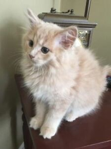 "Baby Female Cat - Domestic Long Hair: ""Tazz"""