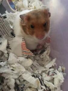 "Young Male Small & Furry - Hamster: ""Levi"""