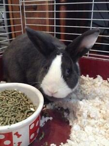 "Adult Male Rabbit - Bunny Rabbit: ""Buster"""
