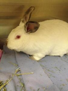 "Adult Female Rabbit - Californian: ""Stella Star"" Cambridge Kitchener Area image 1"