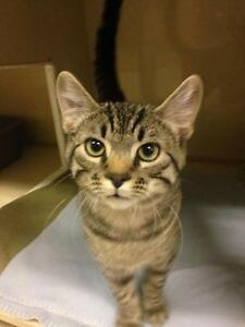 "Young Male Cat - Domestic Short Hair-Tabby: ""Otis"""