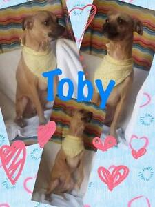 "Baby Male Dog - Chihuahua-Terrier: ""Toby"""