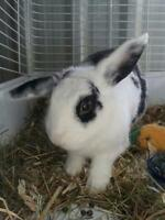 "Adult Male Rabbit - Mini-Lop-Bunny Rabbit: ""Acorn"""