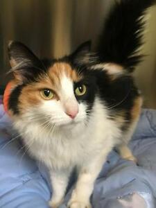 "Adult Female Cat - Domestic Medium Hair-Calico: ""Marbles"""