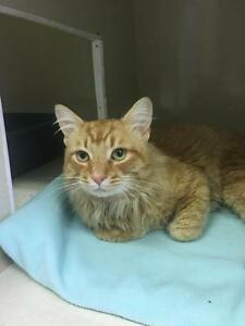 "Adult Male Cat - Domestic Medium Hair-Tabby - Orange: ""O'Malley"""