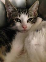"Baby Male Cat - Domestic Short Hair: ""Clark"""