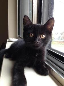 "Young Female Cat - Domestic Short Hair-black: ""Kingsford"""