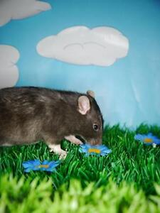 "Adult Female Small & Furry - Rat: ""Calamity"""
