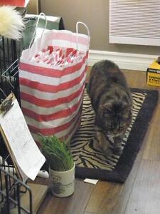 "Adult Female Cat - Domestic Short Hair: ""Franny"" Oakville / Halton Region Toronto (GTA) image 3"