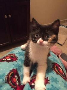 "Baby Female Cat - Calico: ""Poppie"""