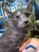 "Baby Female Cat - Domestic Short Hair: ""Anabelle"""