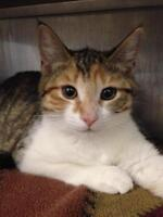 "Young Female Cat - Domestic Short Hair: ""Marlene"""