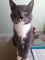 "Adult Male Cat - Domestic Short Hair: ""Mr. Whiskers"""