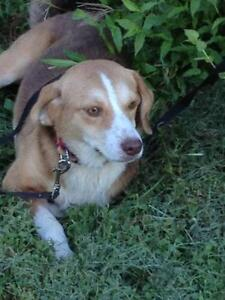 "Young Female Dog - Beagle: ""Melody"""