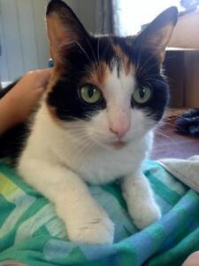 "Young Female Cat - Calico: ""Bella"""