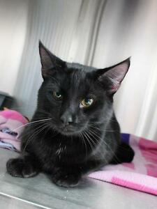"Adult Male Cat - Domestic Short Hair: ""Smith"""