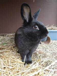 "Young Female Rabbit - Dutch-Lionhead: ""Annie"""