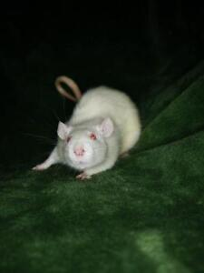 "Young Female Small & Furry - Rat: ""Lordie"""