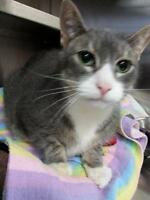 "Senior Male Cat - Domestic Short Hair: ""Cyrus"""