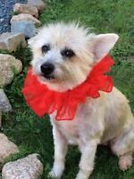 "Adult Female Dog - Terrier: ""Ginger"""