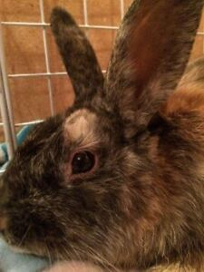 """Young Male Rabbit - Harlequin: """"Ember"""""""