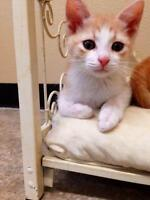 Baby Male  - Domestic Short Hair - orange and white