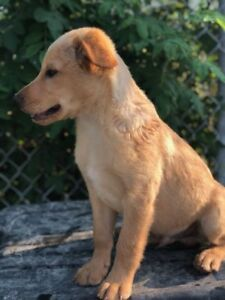 "Baby Male Dog - Mixed Breed: ""Molson"""