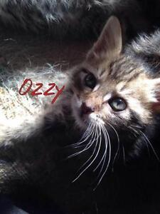 """Baby Male Cat - Domestic Short Hair-Tabby: """"Ozzy"""""""