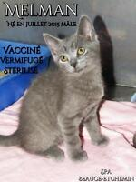 """Young Male Cat - Domestic Short Hair: """"Melman"""""""