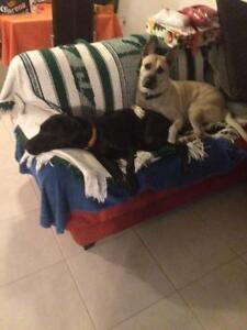 """Adult Male Dog - Mastiff-Labrador Retriever: """"Lucas"""""""