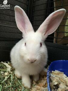 "Young Male Rabbit - New Zealand: ""Gord"""