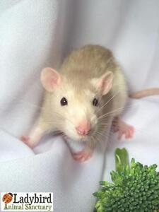 "Young Female Small & Furry - Rat: ""Zsa Zsa and Eva"""