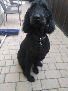 "Adult Male Dog - Poodle: ""Charlot"""