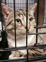 "Young Male Cat - Tabby - white-Bengal: ""Lancelot"""