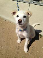 """Baby Female Dog - Labrador Retriever: """"Anna"""""""