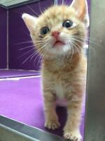 "Baby Male Cat - Domestic Short Hair - orange and white: ""Ginger"""