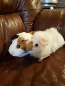 """Young Female Small & Furry - Guinea Pig: """"Sugar"""""""